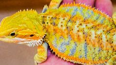 Citrus yellow bearded dragon.. i love my Beardies, but this color is so pretty.