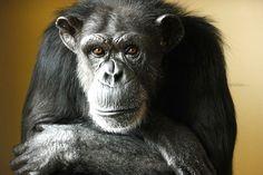 Beautiful Annie Chimpanzee!