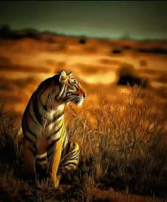 Amazing wildlife. Tigers photo