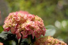 rosa Blütentraum