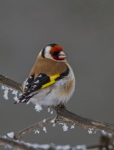European Goldfinch - Carduelis carduelis; Is a widespread species in Europe, central Asia and northern Africa and was introduced into Australia in the 1860′s. Originally restricted to urban areas, the European Goldfinch has successfully moved out...