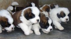 Baby St Bernard Puppies Images