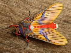 libutron:  Tiger moth, Idalus sp., Arctiinae by Andreas Kay on...