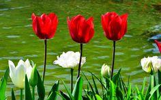 3 tulipani rossi
