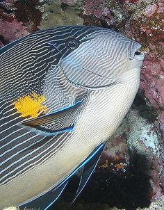 Arabian surgeonfish by Anel Van Veelen, Underwater Creatures, Ocean Creatures, Underwater World, Underwater Photos, Underwater Photography, Film Photography, Street Photography, Landscape Photography, Fashion Photography