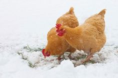 Chickens in Winter: How to Keep Them Healthy http://www.rodalenews.com/chickens-winter?cm_mmc=TheDailyFixNL-_-1597482-_-02112014-_-How_to_Keep_Chickens_Warm_in_the_Winter