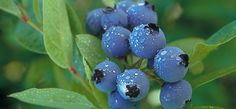 Blueberries for home landscape. Detailed blueberry planting information from soil preparation to types of plants. University of Minnesota Extension. #growingblueberries. Discover all things blueberry at Blueberry-Buzz.com.