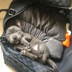 "5,339 Likes, 35 Comments - Pit Bulls Villa (@pitbullsvilla) on Instagram: ""Dad pack me in the bag and take me whenever you go ▪️Credits: @theteddybearstaffy"" #pitbull"