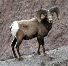 "Bighorn Sheep Ovis canadensis ""More noise than harm"""