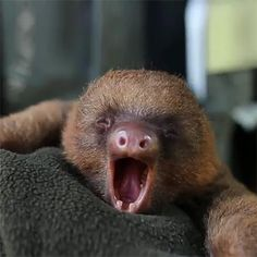 Baby sloth!!!