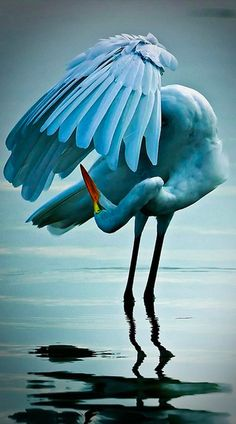 Dancing egret in South Ponte Vedra Beach, Florida • photo: Craig ONeal on Flickr