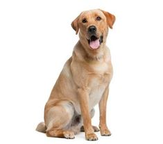 Mind Blowing Facts About Labrador Retrievers And Ideas. Amazing Facts About Labrador Retrievers And Ideas. Perro Labrador Golden, Raza Labrador, Perros Golden Retriever, Big Dogs, I Love Dogs, Dogs And Puppies, Doggies, Labrador Retrievers, Retriever Puppies