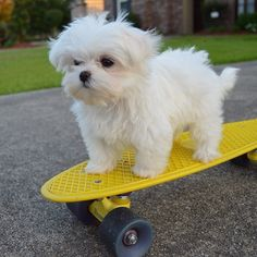 CLICK the link in ou CLICK the link in our bio to shop designer Maltese products Made in the USA International delivery . Cute Baby Animals, Animals And Pets, Funny Animals, Teacup Maltese, Maltese Dogs, Maltese Shih Tzu, Cute Puppies, Cute Dogs, Dogs And Puppies