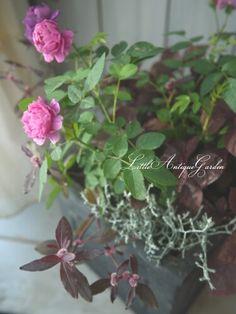 スイートシャリオットの寄せ植え #シャビー#アンティーク#寄せ植え#antique#garden#rose#shabby