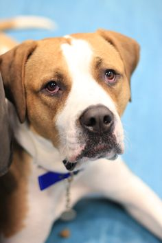 This wonderful girl is in the office with us today. Big, beautiful Buttercup is looking for a home. http://www.battersea.org.uk/dogs/buttercup_157.html