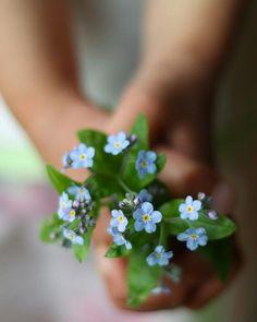 Forget Me Not (myosotis) Little Flowers, My Flower, Beautiful Flowers, Forget Me Not, Jolie Photo, Love Blue, Simple Pleasures, Flower Arrangements, Bloom
