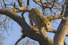 """""""Death From Above"""" – Tshukudu Game Reserve, South Africa – Graham King – Featured Photographer"""