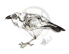 Corvus corax: Common Raven Skeleton on Behance