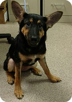 URGENT! I am at a very full, high kill shelter inTroy, OH - German Shepherd Dog Mix. Meet Gretchen, a puppy for adoption. http://www.adoptapet.com/pet/16501733-troy-ohio-german-shepherd-dog-mix
