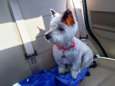 Molly looks great after a haircut!! Sporting a halloween feather!