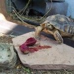 Sulcata Tortoise Food List Tortoise Food, Tortoise Habitat, Sulcata Tortoise, Tortoise Pictures, Funny Farm, Reptiles, Future, Pets, Garden