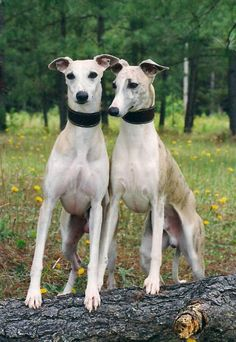 Only thing better than one Whippet?  Two Whippets!