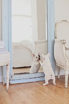 To know more about French Bulldog Hello, handsome., visit Sumally, a social network that gathers together all the wanted things in the world! Featuring over 98 other French Bulldog items too! Love My Dog, Puppy Love, Lilac French Bulldog, Blue French Bulldogs, Cãezinhos Bulldog, Bulldog Puppies, Cute Puppies, Cute Dogs, Baby Animals