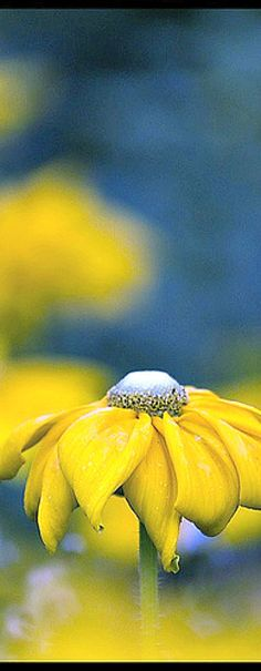A beautiful yellow daisy like flower against a blue background with a sombre melodramatic feel to it.