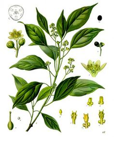 Camphor has a sharp, pungent scent and is very strong, so it should be used in small amounts. Camphor essential oil is known to have analgesic action, as well as being stimulating to the circulatory system. Because it is antiviral and antibacterial, it is often used for congestion and colds.