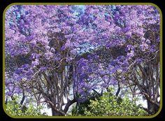 Jacaranda (Blue Mimosa)