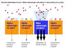 Adrenaline: The effects of Alpha and Beta adrenergic receptors on vasoconstriction and blood flow in psoriasis « PsoriasisDietPlan.com