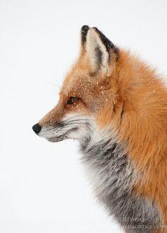 99 потрясающих портретов животных, лиса