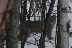Here kitty, kitty, kitty. Kitty Kitty, Lynx, Pet Birds, Ontario, Scenery, Fish, Nature, Photos, Animals