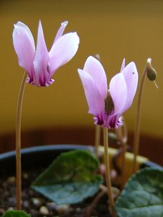 One of the easiest and showiest Cyclamen species for the garden, the hederifolium have marbled foliage and dramatic blossoms that make an inviting ground-level attraction beneath a mature deciduous tree. After pointed buds rise from established tubers, glorious blooms composed of five reflexing petals emerge. As the downward-facing flowers fade and seeds form, spent stems spiral earthward, thus earning its Greek derivation from cyclo or circle.
