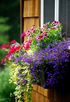 Window box purchased from Hooks & Lattice. Planted is Lobelia, Creeping Jenny, Ivy, and Petunias. It faces the east side of the house with the morning sun