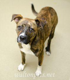 Found Dog - Boxer - Loganville, GA, United States