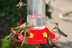 Attract Hummingbirds With This Easy Nectar Recipe: Attract hummingbirds with a simple nectar recipe.