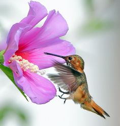 Hummingbird & Blue Hibiscus - Click image to view larger!  By: Tm J, hummingbirds, Humming birds, gardening wildlife,