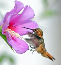 Hummingbird & Blue Hibiscus