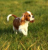 Puppy Cavalier King Charles Spaniel on the grass.