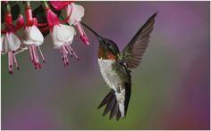 Humming Bird And Flowers Wallpaper | hummingbird and flower wallpaper