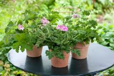 Mosquito Plants, Citronella, Types Of Plants, Planting Seeds, Go Green, Geraniums, Natural Remedies, Diy And Crafts, Planter Pots