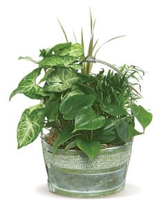 Decorate your home or office with a medley of potted house plants from Four Seasons Flowers! We strive to be a quality florist in San Diego, California. Porch Plants, Ivy Plants, Shade Plants, Cool Plants, Indoor Plants, Palm Plants, Garden Plants Vegetable, Garden Pots, Common House Plants