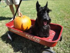 Even Scotties like fall...another, pet I would love to have!