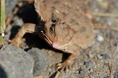 Phrynosoma orbiculare. Se especializa en comer hormigas aunque también le vimos comiéndose una rica cochinilla.