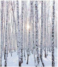 Snow and Birch Trees!  ❄️❄️❄️
