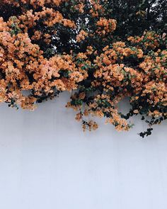 Bougainvillea in the Hollywood Hills | Kristen Marie Nichols