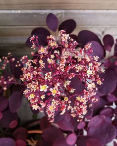 """Cotinus coggygria (in the photo the variety """"Royal Purple""""), an ornamental shrub appreciated for the beauty of its foliage and for its characteristic plumed fruits. Smoke Tree, Green Texture, Annual Flowers, Geraniums, Flower Making, Fireworks, Shrubs, Perennials, Perennial"""