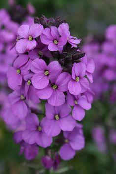 Purple flowers - Bowles Mauve Wallflower