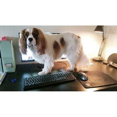 Sigge the cavalier - Don't you think it's time for a break from the computer?